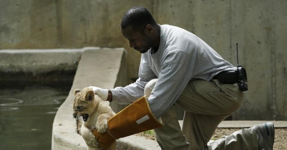 6.mai.2014 - Técnico do zoológico Nacional Smithsonian (EUA) coloca um filhote de tigre de dez semanas em um tanque para testar a capacidade do animal de nadar e de sair da água