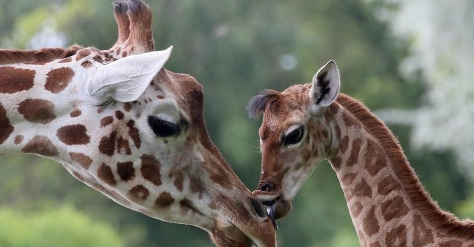 9.mai.2014 - Com nove dias de idade, o filhote de girafa Bine lambe a girafa Andrea no zoológico de Friedrichsfelde, em Berlim, na Alemanha