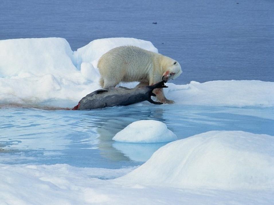 9.mai.2014 - O urso polar (Ursus maritimus) é classificado como vulnerável na escala de risco de extinção. Sua população diminuiu 30% nos últimos 45 anos por causa da menor área de ocupação, extensão em que é encontrado e qualidade do habitat. Os ursos polares vivem no Ártico, região ameaçada pelo degelo ocorrido pelo aquecimento global