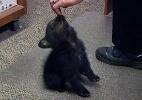 Urso bebê órfão vira hóspede em delegacia de polícia do Oregon (EUA) (Foto: KPIC/TV)