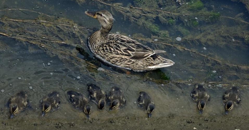 23.mai.2014 - Pato selvagem nada com filhotes no rio Dâmbovita, em Bucareste, na Romênia, nesta sexta-feira (23)
