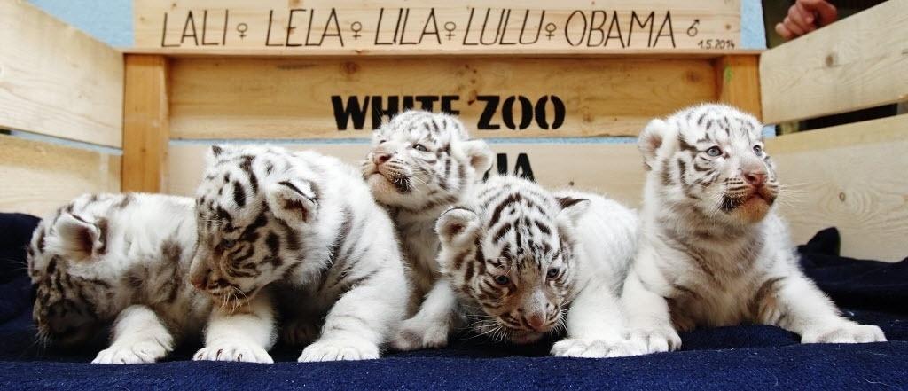 26.mai.2014 - Cinco filhotes de tigres-de-bengala brancos nascidos em um zoológico da Áustria são apresentados ao público nesta segunda-feira (26). Os animais nasceram no dia 25 de abril, dois anos após a sua mãe dar à luz quatro filhotes