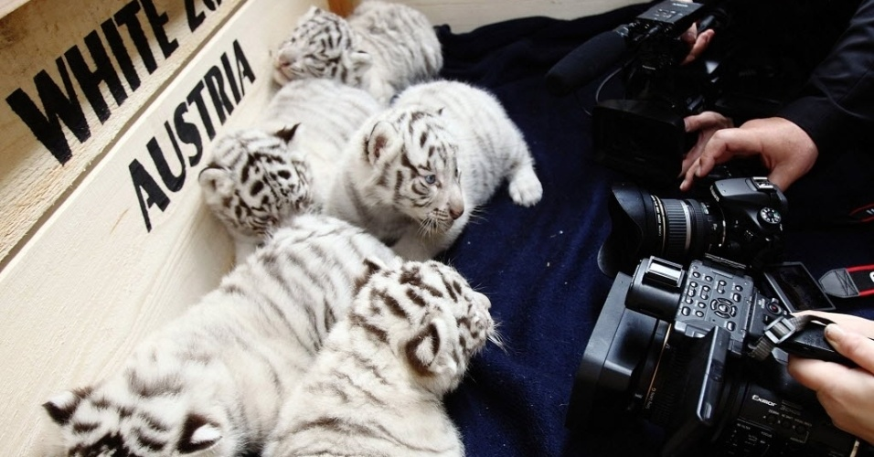 26.mai.2014 - Cinco filhotes de tigres-de-bengala brancos são assediados por fotógrafos no White Zoo, em Kernhof, na Áustria, nesta segunda-feira (26). Os animais nasceram no dia 25 de abril, dois anos após a sua mãe dar à luz quatro filhotes