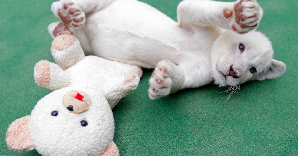 30.mai.2014 - Filhote de sete meses de idade de leão branco brinca com um urso de pelúcia em zoológico de Abony, a leste de Budapeste, Hungria