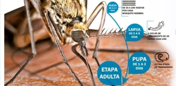 Ilustração do mosquito fêmea Aedes albopictus, portador do vírus que causa a febre Chikungunya e também a dengue, mostra processo de maturação dos ovos que causam a infecção. Na fase de ovo, de 2 a 4 dias: de 50 a 200 ovos por cada mosquito fêmea, e na fase de larva, de 5 a 8 dias, com 4 ciclos de crescimento de 48 horas cada um. Como Pupa, de 1 a 2 dias, se faz a última fase de maturação até a fase adulta