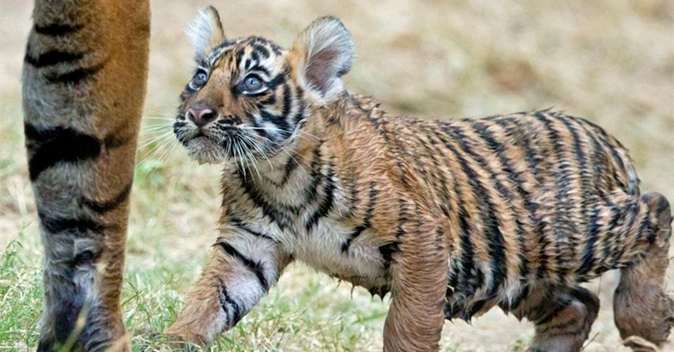 24.jul.2014 - A diminuição brusca de tigres está ligada ao desmatamento das florestas, a destruição de seu hábitat, o desaparecimento de suas presas, a caça ilegal e o tráfico de animais selvagens