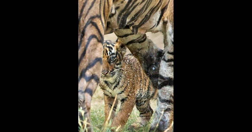 24.jul.2014 - Infelizmente, eles estão no limite da sua existência por causa da caça e da perda de seu hábitat, com 3 de 8 raças já extintas e outras em alto risco