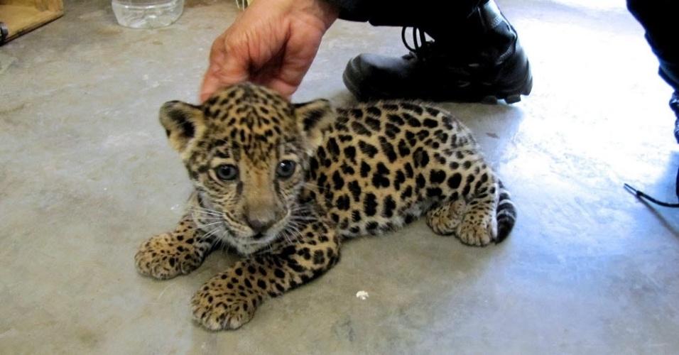 25.jul.2014 - Um filhote de jaguar da espécie 'Panthera onca', em risco de extinção, foi encontrado dentro de um pacote enviado pelo correio ao aeroporto de Culiacán, no Estado mexicano de Sinaloa. Seu comércio é proibido internacionalmente. O felino, de um mês e meio de idade, encontrava-se em bom estado de saúde, segundo autoridades locais. O embrulho contendo o animal era proveniente da Cidade do México. O filhote foi enviado para o zoológico de Culiacán