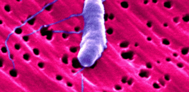 Nesta micrografia de elétrons colorizada pode-se ver a bactéria Vibrio vulnificus, conhecida como bactéria devoradora de carne humana