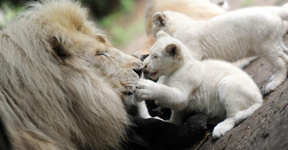 15.ago.2014 - Filhotes de leão branco brincam com o pai, o leão Yabu
