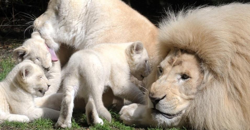 15.ago.2014 - Filhotes de leão branco brincam com seus pais, a leoa Nikita (centro) e o leão Yabu (dir.)