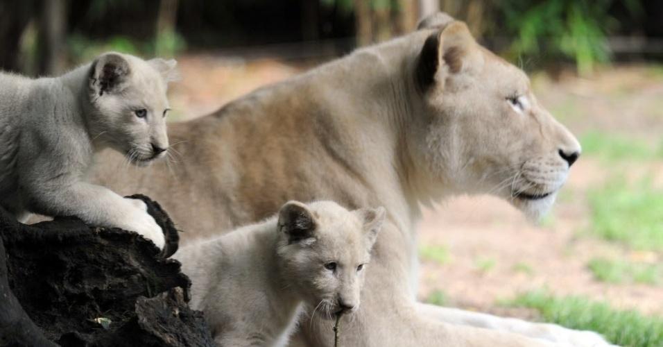 15.ago.2014 - Filhotes de leão branco no zoológico de La Fleche, na França