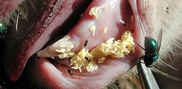 Larvas da mosca Lucilia eximinia aparecem aqui em porcos: pesquisa pode apontar sua utilização na cicatrização de feridas