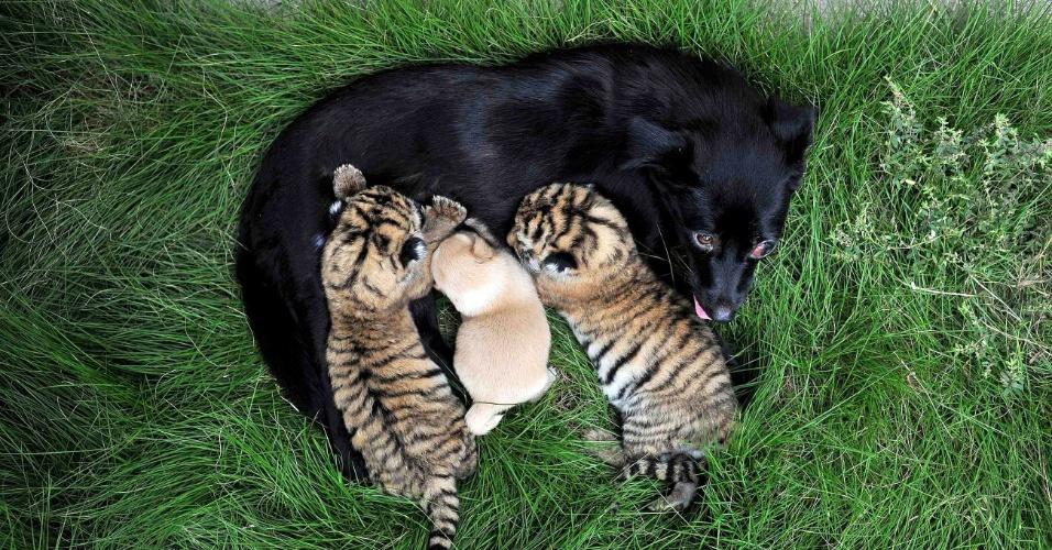 22.ago.2014 - Cadela dá de mamar a seu filhote e a tigres de dois dias de idade nesta sexta-feira (22) em zoológico em Hefei, província chinesa de Anhui
