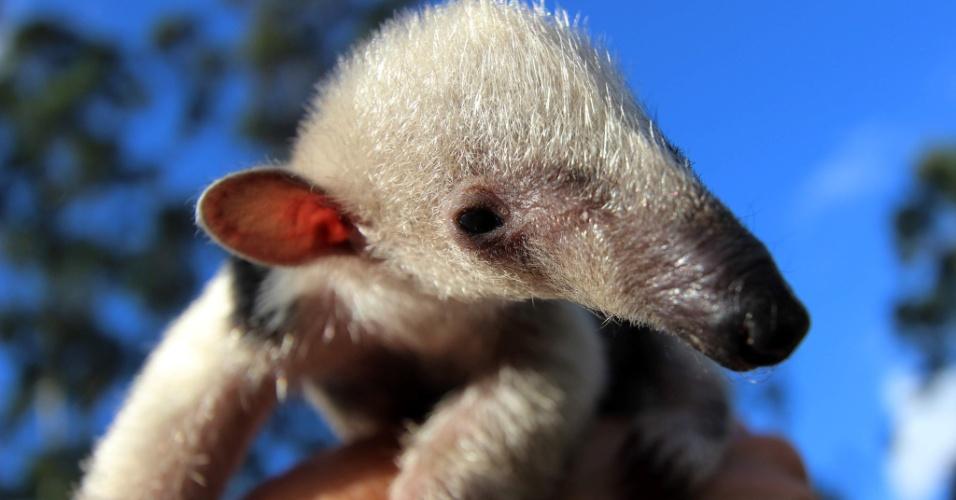 27.ago.2014 - No Cetas (Centro de Triagem de Animais Silvestres), em Vitória da Conquista (BA), o tamanduá-mirim órfão foi batizado de