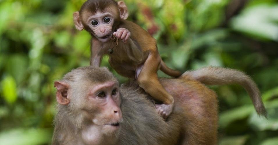 28.ago.2014 - Macaco carrega filhote nas costas no Parque Nacional Hlawga, em Mingaladon, em Mianmar, nesta quinta-feira (28). O local conta com mais de 70 tipos de animais herbívoros e 90 espécies de pássaros, além de animais selvagens e um pequeno zoológico
