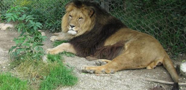 Possível leão-do-atlas em cativeiro em zoológico de Liubliana, na Eslovênia, em foto de 2011