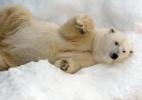 Urso polar: Um dos maiores carnívoros terrestre pode desaparecer - Vasily Maximov/AFP