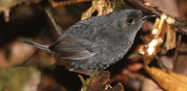 O macuquinho-preto-baiano foi descoberto em uma faixa estreita de Mata Atlântica, no litoral da Bahia