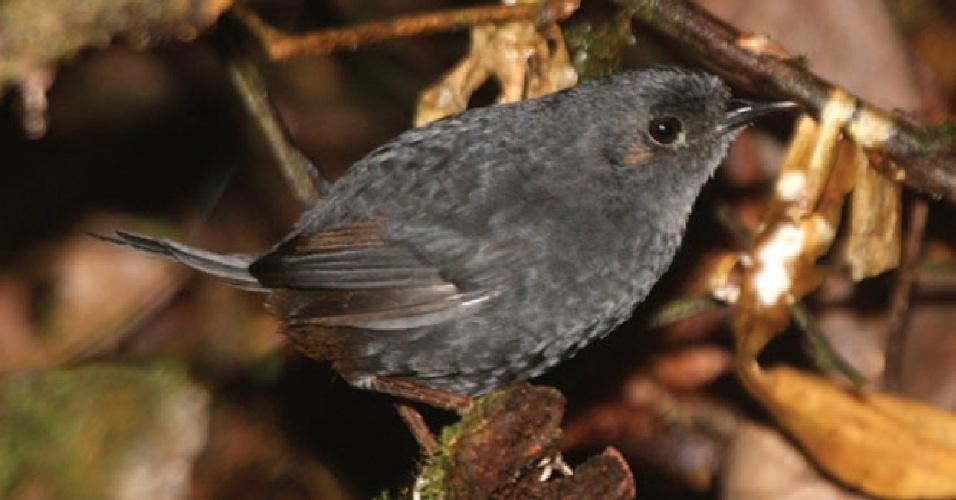 20.set.2014 - O macuquinho-preto-baiano foi descoberto em uma faixa estreita de Mata Atlântica, no litoral da Bahia