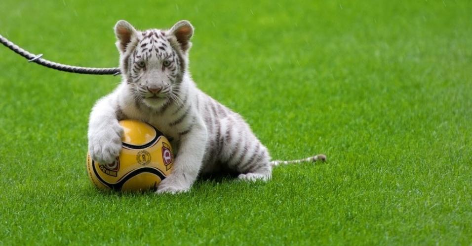 22.set.2014 - Um filhote de tigre-de-bengala branco joga bola em um estádio de futebol em Dresden, Alemanha, durante uma apresentação do circo Sarrasani.