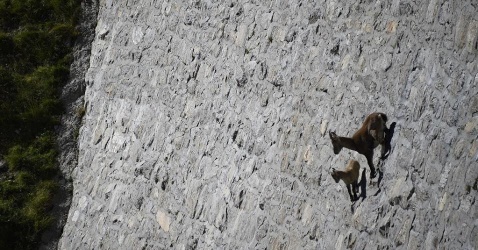 24.set.2014 - Acompanhada por um filhote, uma fêmea de íbex-dos-alpes, uma espécie de cabra selvagem que vive nas montanhas dos Alpes europeus, desce por pedras por uma encosta de inclinação de 80 graus, rumo ao lago Cingino, na Itália, a 2200 metros de altitude. Durante os dias quentes o íbex-dos-alpes procura lamber o sal que escoa nas paredes de pedra