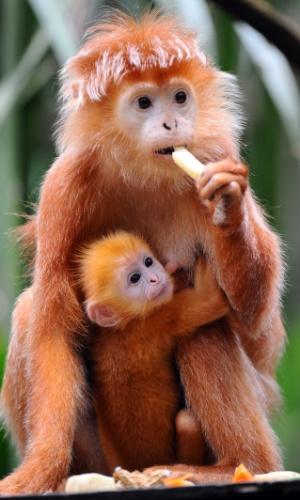 2.out.2014 - Filhote de Lutung-de-java, uma espécie de macaco, é fotografado agarrado à mãe em reserva da vida animal de Cingapura