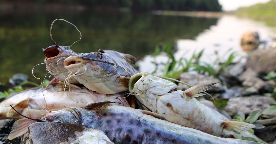 15.out.2014 - O rio Piracicaba, no interior de São Paulo, continua com um dos níveis mais baixos da história devido à falta de chuvas. Com o calor, pouca água tem sido liberada para o curso do rio, o que provoca a morte dos peixes na região