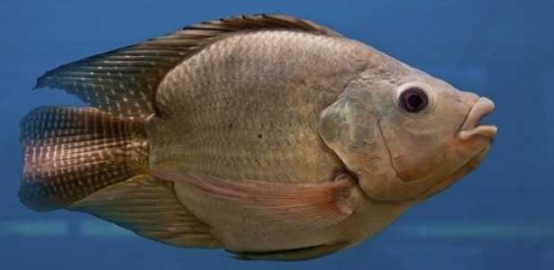 Características femininas em peixes machos foram notadas pela primeira vez nos anos 90