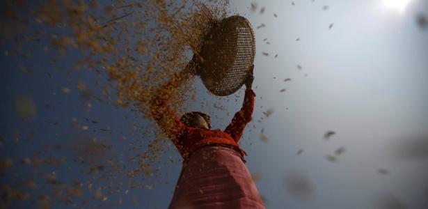 Uma agricultora colhe arroz em um campo em Lalitpur, no Nepal
