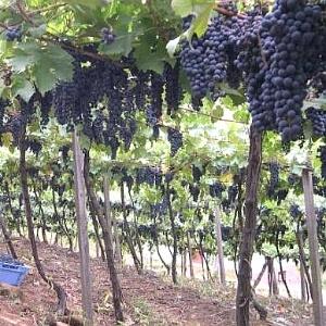 Plantação de uvas da Embrapa