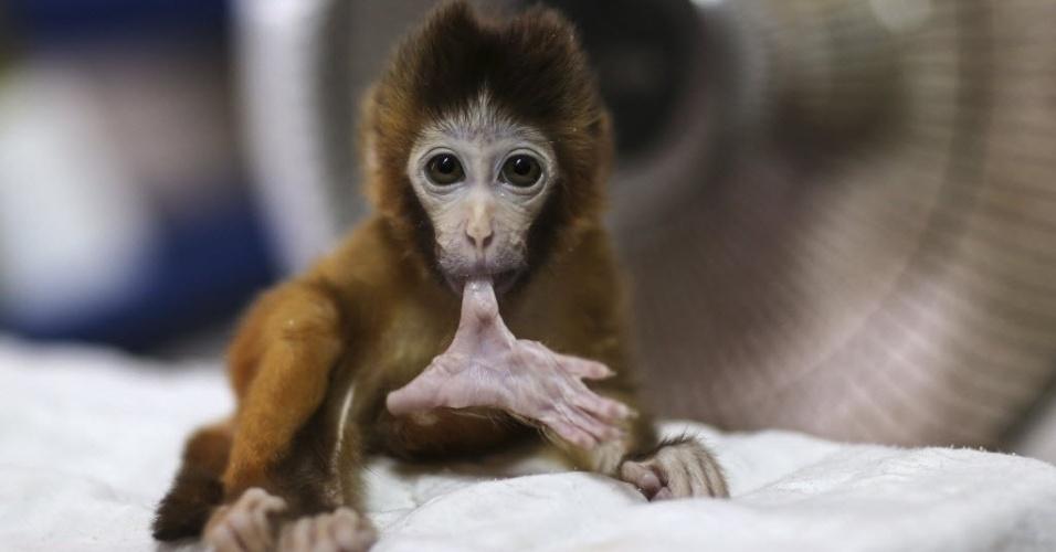 14.nov.2014 - Um filhote de macaco de três meses morde dedão do pé em frente a aquecedor em parque zoológico de Kunming, na China