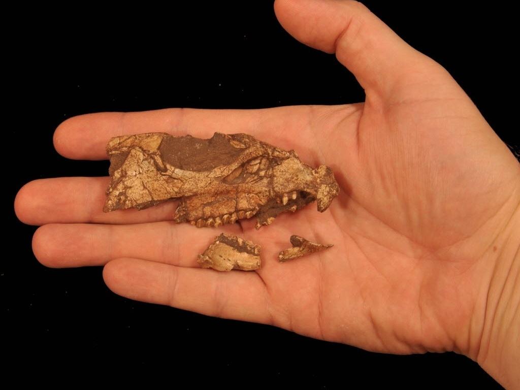 10.dez.2014 - Imagem fornecida pelo cientista Andrew A. Farke mostra um fóssil do crânio do dinossauro da espécie