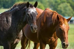 Estudo comprova que cavalos reagem a emoções humanas (Foto: Karen Bleier/AFP)