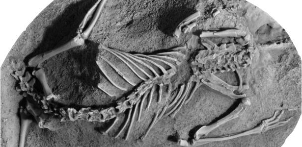 Fósseis de Asiatherium reshetovi, uma das espécies dos metatherianos, que viveram na Terra durante o Cretáceo