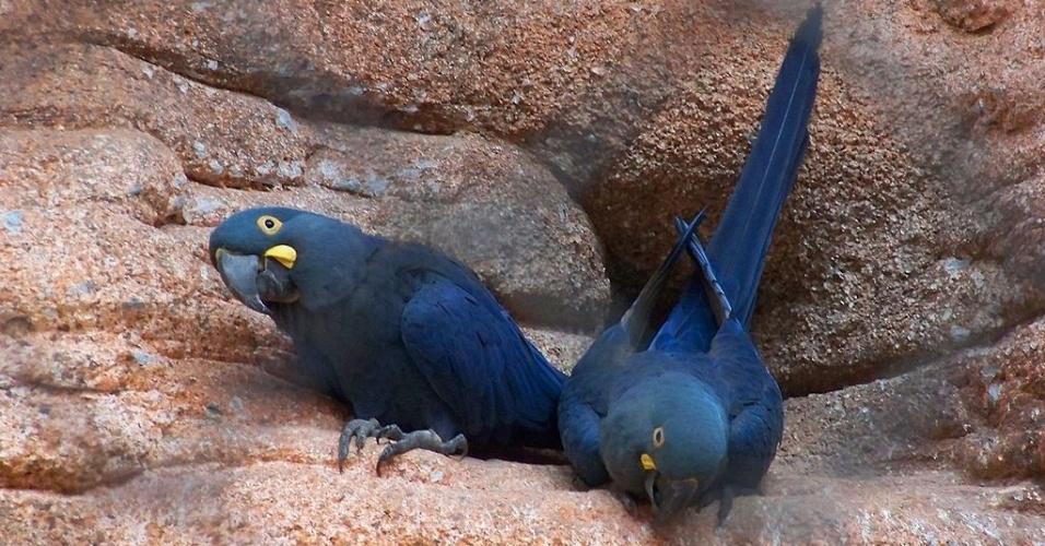 """A arara-azul-de-lear passou de """"criticamente em perigo"""" de extinção para em """"em perigo"""" no Brasil graças a um plano de ação publicado em 2006, que resultou em seu aumento populacional"""