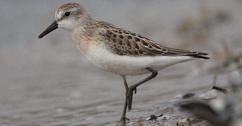 A ave maçarico-rasteirinho, espécie migratória com declínio populacional, entrou na mais recente lista de animais ameaçados de extinção do Ministério do Meio Ambiente