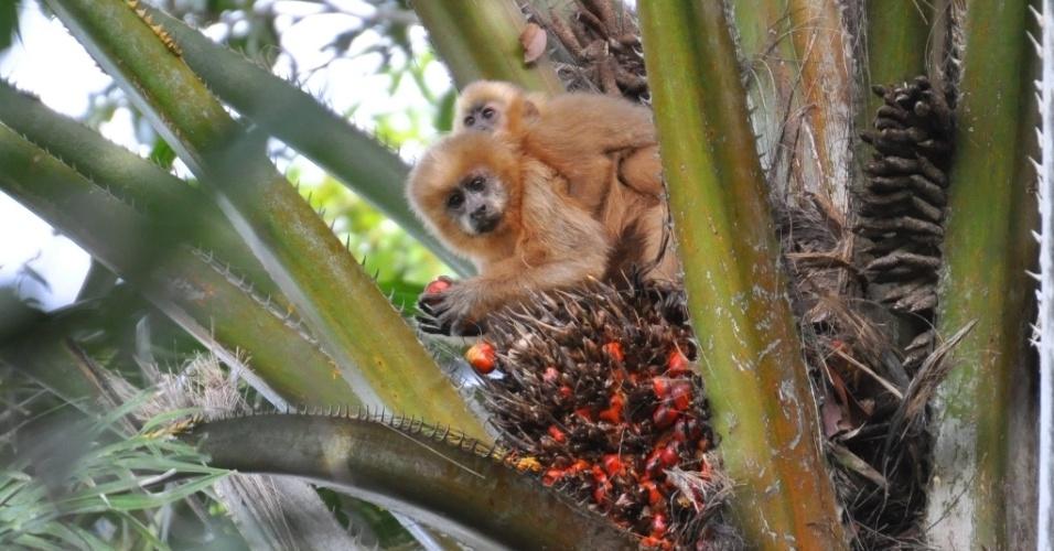 Macaco-prego-galego, espécie cujo habitat (mata atlântica nordestina) sofreu grande redução já a partir do século 17 está sob ameaça de extinção no Brasil