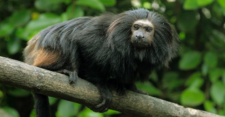O mico-leão-preto passou de espécie criticamente em perigo de extinção para vulnerável na fauna brasileira