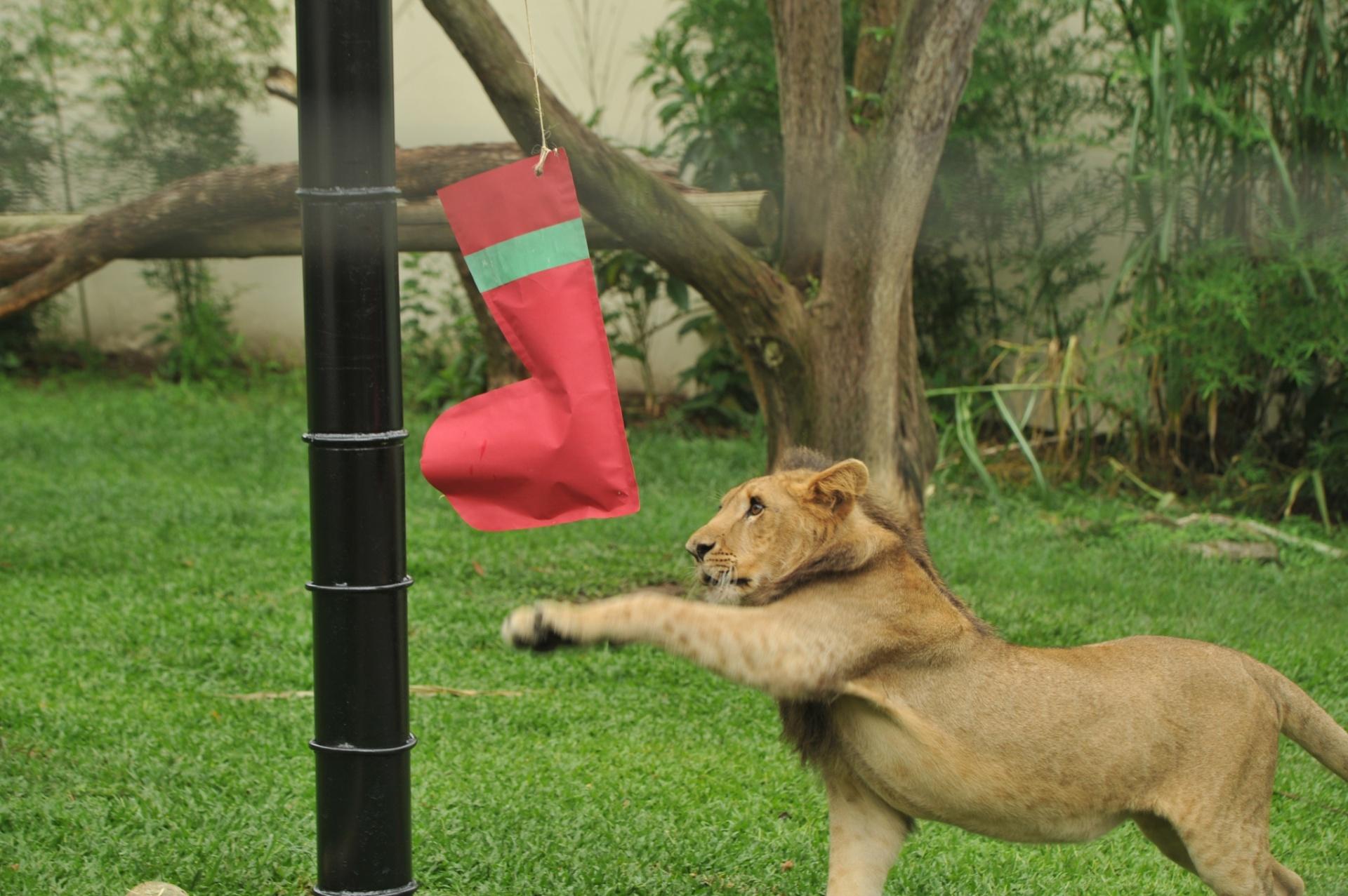 23.dez.2014 - Leoa do zoológico de Pomerode (SC) recebe presentes de Natal. Outros animais do local também foram contemplados