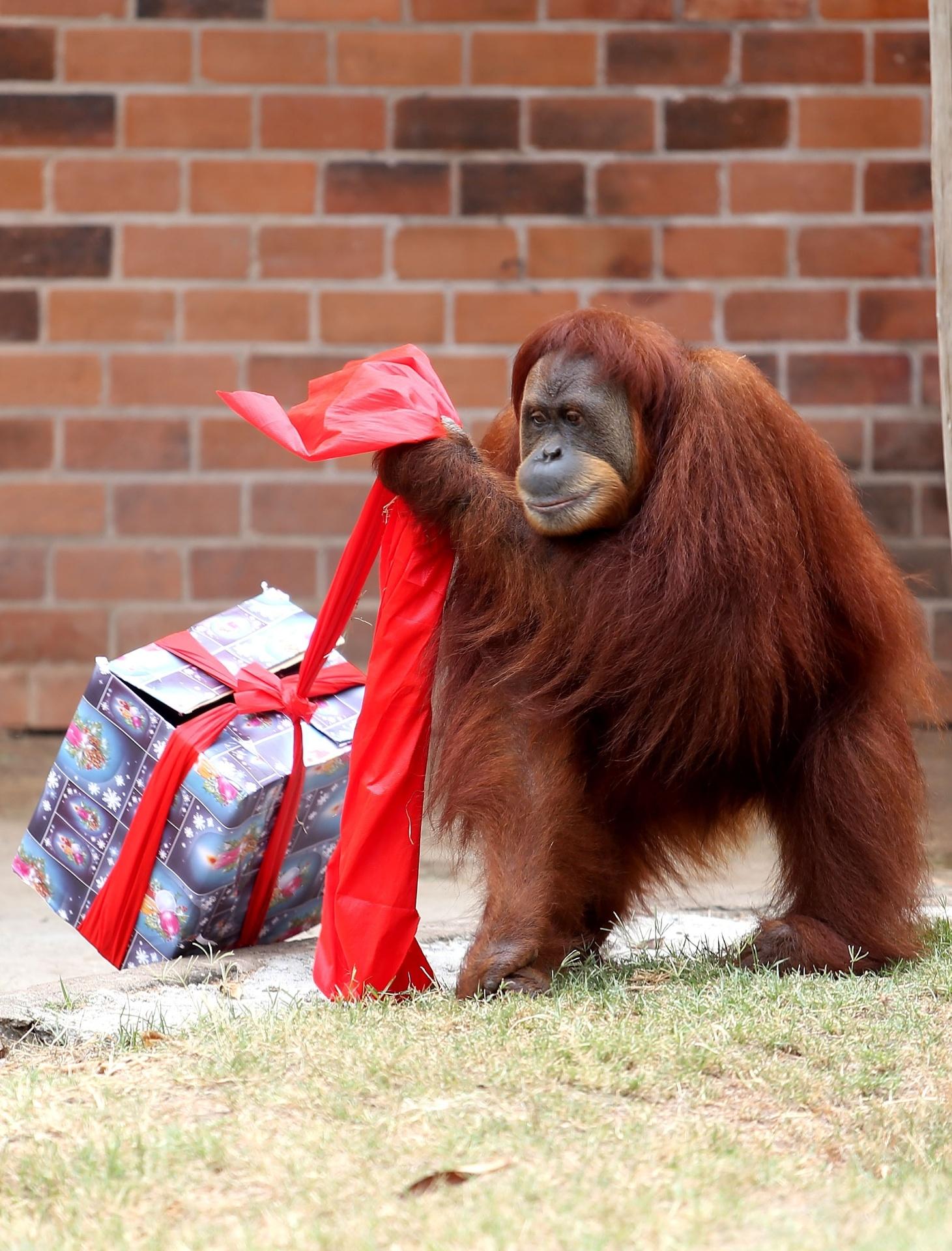 23.dez.2014 - Orangotango do Zoológico da Quinta da Boa Vista, na zona norte do Rio de janeiro, recebe presente de Natal. Outros animais do local também receberam lembrancinhas e frutas