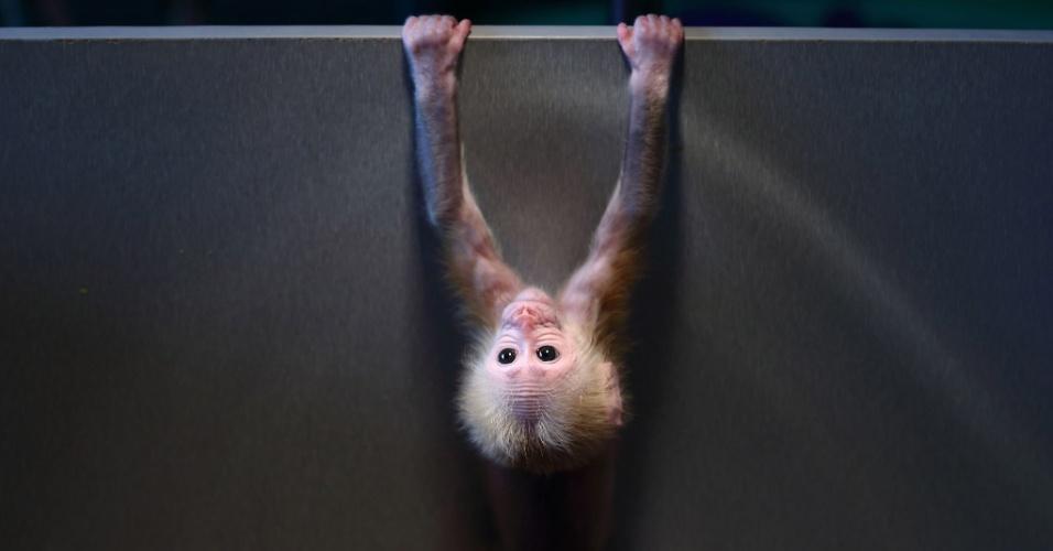 29.dez.2014 - Filhote de macaco cara-vermelha brinca com uma caixa no zoológico de Hangzhou, na província de Hangzhou, na China