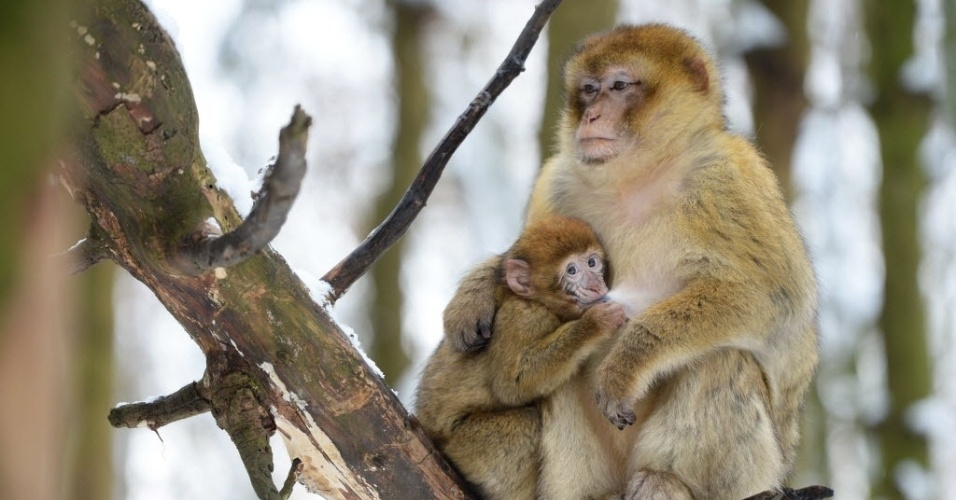2.jan.2015 - Macaca dá de mamar ao filhote de oito meses de idade, nesta sexta-feira (2), no zoológico