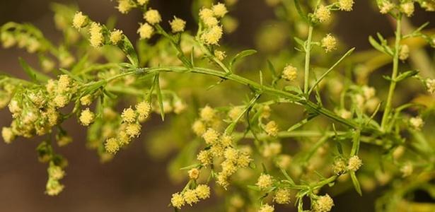 Losna (Artemisia annua): três vezes mais eficaz que utilizar a dose padrão dos remédios que contêm artemisina e que hoje constituem a forma mais comum de tratar malária