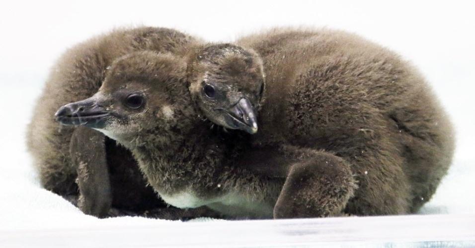 8.jan.2015 - Dois filhotes de pinguins africanos se aquecem em aviário de Pittsburgh, nos EUA. Os pequenos pinguins foram colocados pela primeira vez na área para visitantes