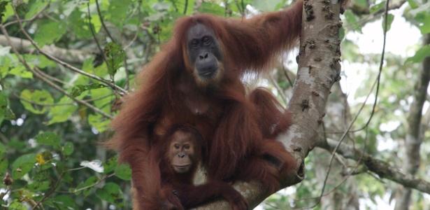 Programa de Conversação do Orangotango em Sumatra/AFP