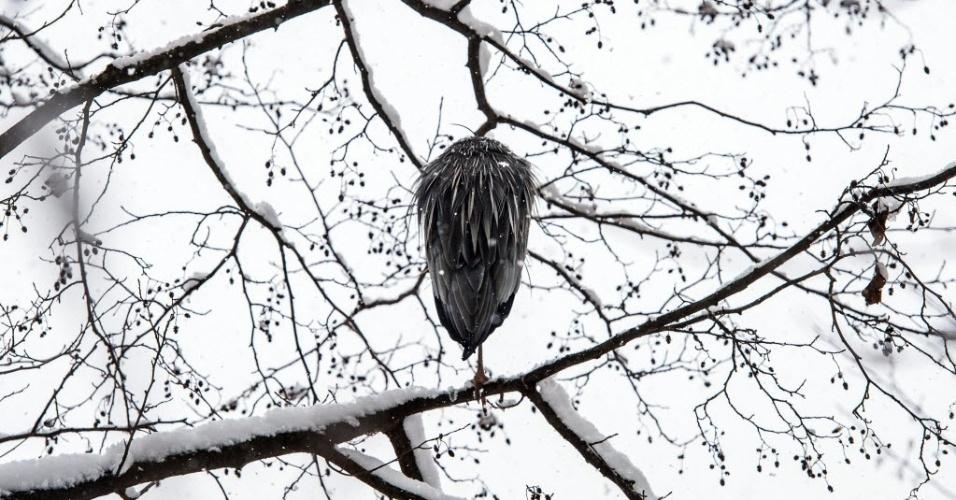 22.jan.2015 - Garça-real-europeia se encolhe sobre galho de árvore coberto de neve em Solna, cidade sueca ao norte de Estocolmo