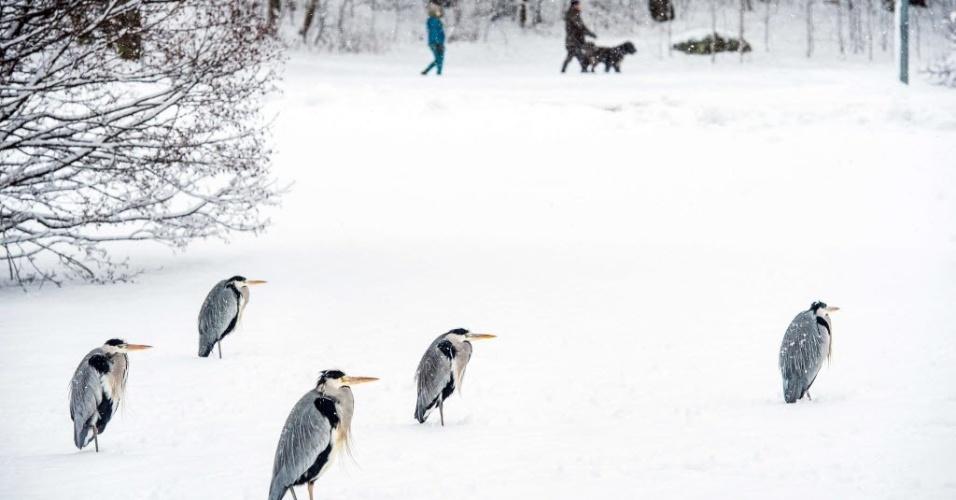 22.jan.2015 - Garças-reais-europeias descansam na neve em Solna, cidade sueca ao norte de Estocolmo