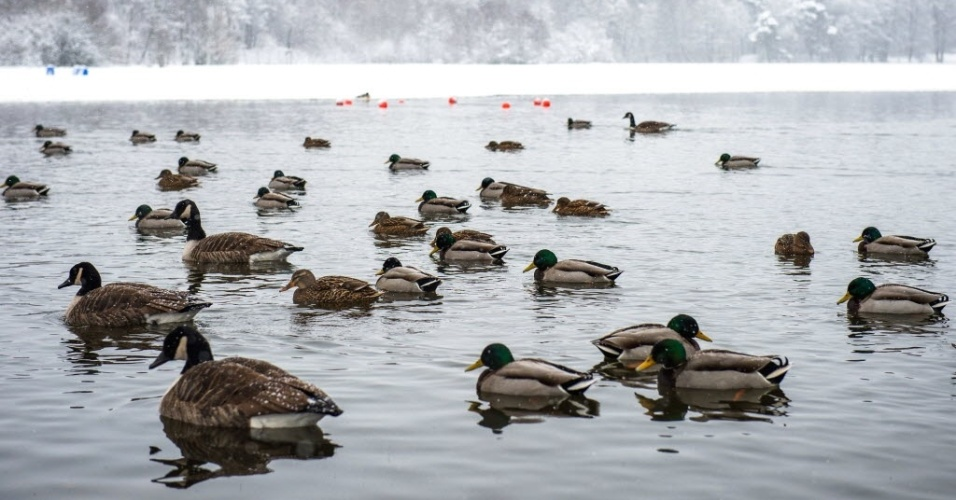 22.jan.2015 - Patos passeiam por lago em Loetsjoen, em Sundbyberg, cidade sueca a noroeste de Estocolmo