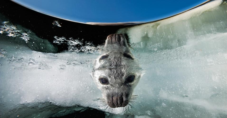 Nascido no gelo, filhote de foca observa o ambiente perto das Ilhas Madeleine, no Québec. Do plâncton ao bacalhau e as baleias, o Golfo de St. Lawrence abriga uma abundância de seres no Québec, Canadá